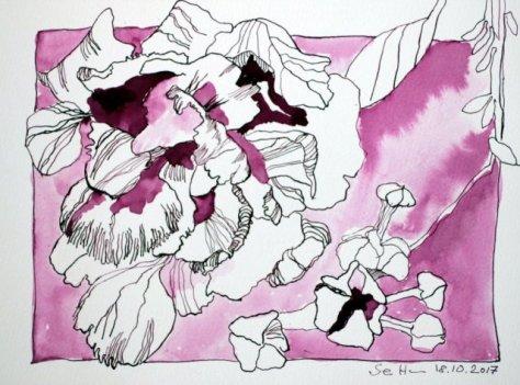Hortensie - 23,5 x 32 cm - Tusche auf Aquarellkarton (c) Zeichnung von Susanne Haun
